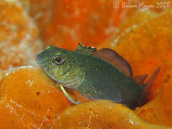 A Variable Triplefin (Forsterygion varium) resting on a b... by Brian Mayes 